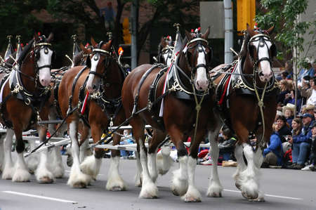 CALGARY CANADA JULY 2004 - Clydesdale horses pulling wagon,  Calgary Stampede Parade Alberta Canada