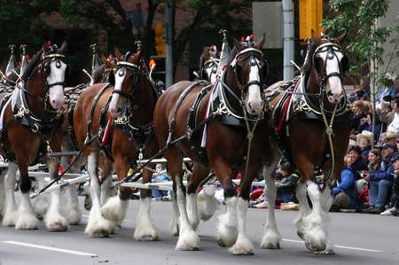 CALGARY CANADA JULI 2004 - Clydesdale paarden trekken wagen, Calgary Stampede Parade Alberta Canada Redactioneel