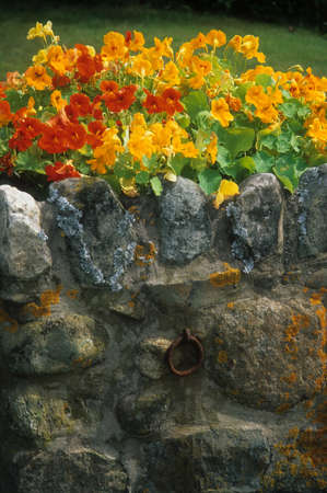 Nasturtium on old stone wall with lichen,  Acadia National Park, Maine  photo