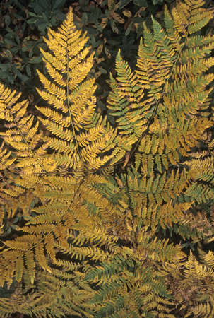 Golden ferns, autumn foliage,   Acadia National Park, Maine  photo