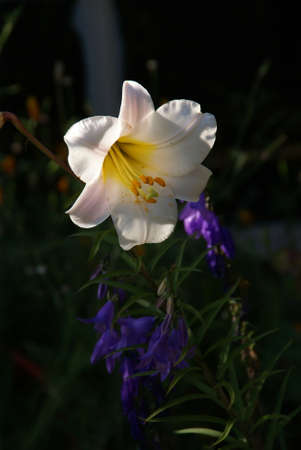 White lily, , backlit in garden,  Pacific Northwest