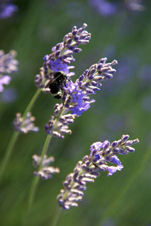 Bumblebee collecting pollen from lavender in bloom  , Seattle garden, Pacific Northwest   photo