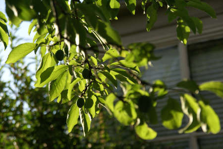 Plums and leaves backlit in Seattle garden
