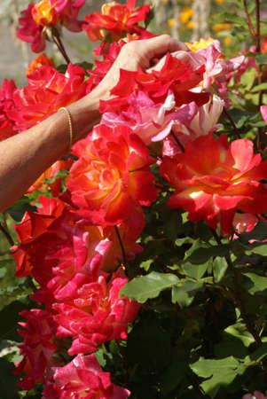 Gardener caring for her roses,  , Seattle garden, Pacific Northwest   版權商用圖片