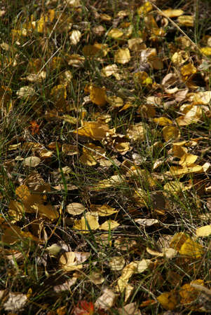 Autumn detail, golden poplar leaves and shadows,  Grand Teton National Park, Wyoming   photo