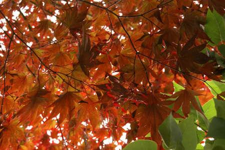 acer palmatum: Japanese maple leaves, layered background, backlit, [Acer palmatum] Seattle, Pacific Northwest