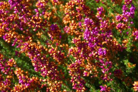 Purple heather flowers, detail,  , Seattle garden, Pacific Northwest Фото со стока