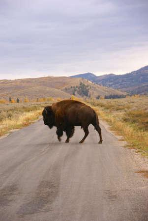 wherever: Single bull bison walking wherever he wants, crossing road [Bison bison] Grand Teton National Park, Wyoming