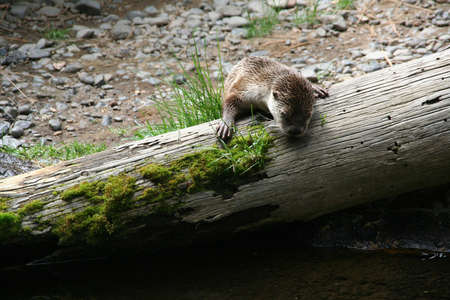 River otter [Lutra canadensis],  High Desert Museum, Central Oregon  photo