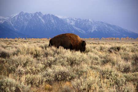 wherever: Single bull bison walking wherever he wants,, [Bison bison] Grand Teton National Park, Wyoming  Stock Photo