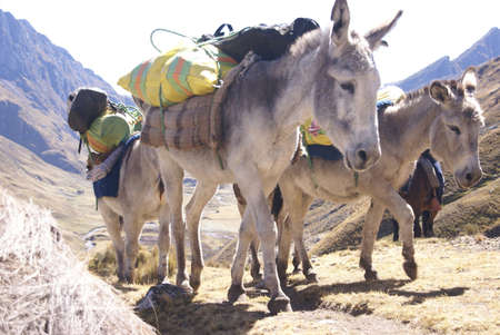 mule train: Mule train, carrying loads,   Cordillera Huayhuash, Andes,  Peru, South America Stock Photo