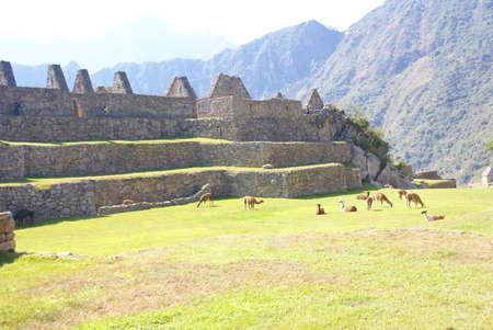 テラス広場に放牧ラマ、インカ遺跡マチュピチュ、ペルー、南アメリカ