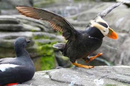 tufted puffin: Tufted puffin,  flapping wings, [Lunda cirrhata],  Aquarium, Newport,  Oregon coast