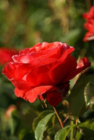 빨간 장미, 정원, 태평양 북서부에 백라이트 스톡 콘텐츠