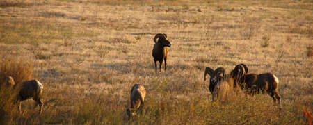 Bighorn Mountain sheep near Kamloops, British Columbia, Canada  photo