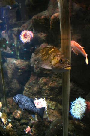 Yellow fish swimming near reef,  Aquarium, Newport,  Oregon coast