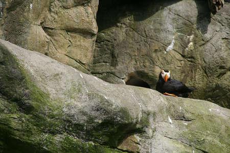 tufted puffin: Tufted puffin, nesting on rocky ledge, [Lunda cirrhata],  Aquarium, Newport,  Oregon coast