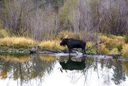 Bull moose in swamp, [Alces alces]  Grand Teton National Park, Wyoming  photo