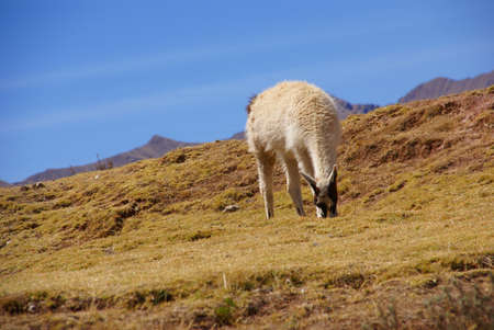 Llama, grazing on high meadow,  Cusco, Peru, South America photo
