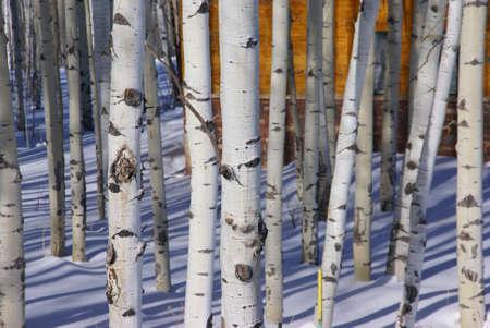 poplar: Winter: bare aspens in snowfield,  Cordillera, Colorado   Stock Photo