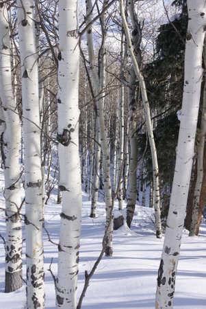 arbol alamo: Invierno, �lamos desnudos en la nieve cerca de la Cordillera, Colorado