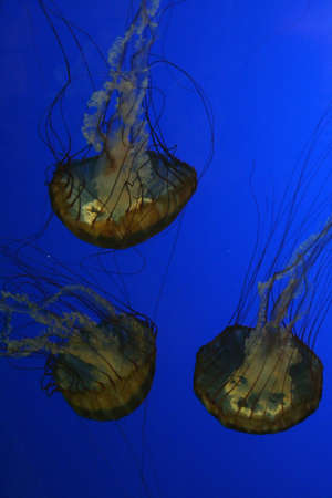 stingers: Jellyfish, swimming upside down in tank   Aquarium, Newport,