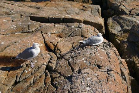 Herring gull on granite rocks, [Larus argentatus] Schoodic Point, Acadia National park, Maine, New England