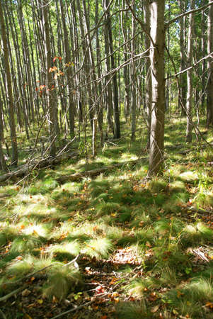 White birch grouping in New England forest, autumn,   Mount Desert Island, Acadia National park, Maine, New England photo