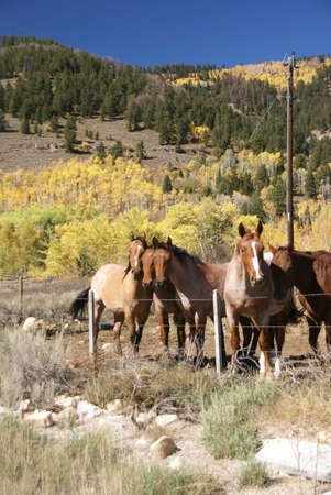 Horses and barbed wire fence,  Tieton Pass, Wyoming