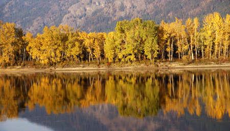 poplars: Autumn, golden trees along river,  British Columbia, Canada  Stock Photo