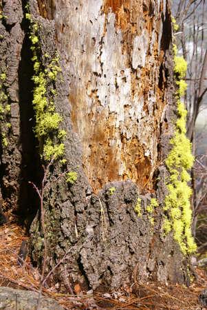 ponderosa pine: Ponderosa pine stump with lichens,  Deschutes River trail, Central Oregon  Stock Photo