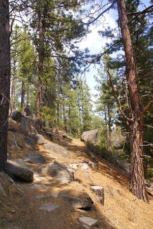 Ponderosa pines along forest trail,  Shevlin Park, Central Oregon  photo