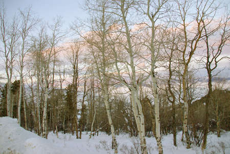 Winter sunset, aspens in snow with shadows,Cordillera,Colorado