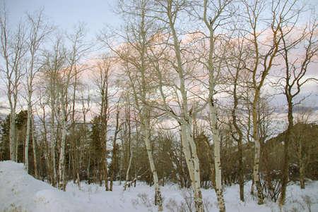 Winter sunset, aspens in snow with shadows,Cordillera,Colorado Stock Photo - 11749688