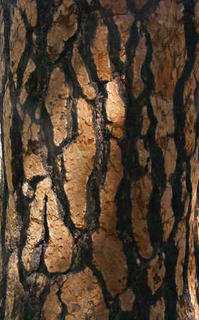 ponderosa: Trunk of Ponderosa Pine, rough bark  Deschutes River, Central Oregon