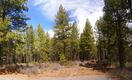 ponderosa: Panorama, ponderosa pines and blue sky,  Deschutes River trail, Central Oregon