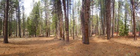 ponderosa: Panorama, ponderosa pines,  Deschutes River trail, Central Oregon