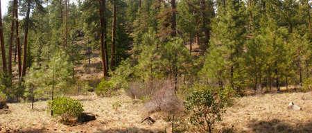 ponderosa: Panorama, ponderosa pines and blue sky,  Shevlin Park, Central Oregon  Stock Photo