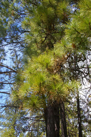 ponderosa: Ponderosa pines and blue sky,  Deschutes River trail, Central Oregon