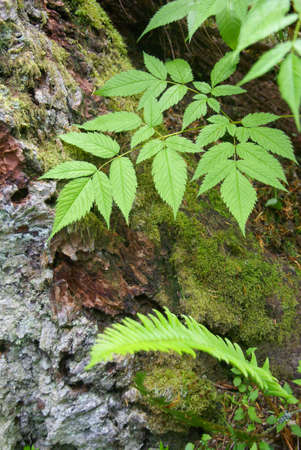 ground cover: Ground cover on forest floor,  Tiger Mountain, Pacific Northwest