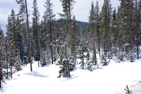 ponderosa: Late spring snow on pine forest,   Central Oregon Stock Photo