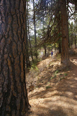 Hiker on trail with Ponderosa pines and river canyon,  Deschutes River trail, Central Oregon  photo