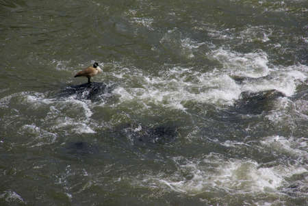 Canada goose standing in whitewater rapids,  Deschutes River, Central Oregon  photo