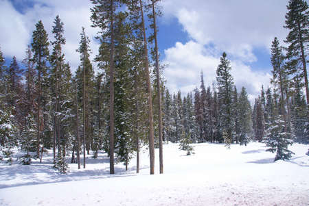 Late spring snow on pine forest,   Central Oregon  photo