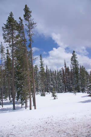 ponderosa pine: Late spring snow on pine forest,   Central Oregon