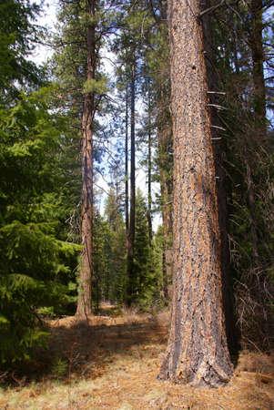 Ponderosa pines,  Deschutes River trail, Central Oregon  photo