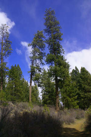 Ponderosa pines and blue sky,  Deschutes River trail, Central Oregon   photo