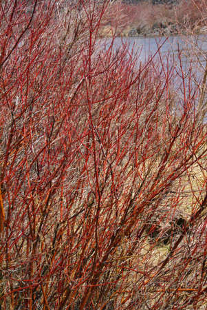 dogwood tree: Detail, Red osier dogwood branches,  Deschutes River trail, Central Oregon