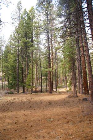 Ponderosa pines and forest floor,  Shevlin Park, Central Oregon  photo