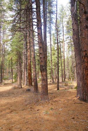 ponderosa: Ponderosa pines and forest floor,  Shevlin Park, Central Oregon  Stock Photo